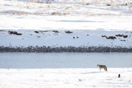 Loup gris dans Lamar Valley