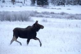 Femelle élan danse dans la neige