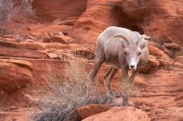 Parc d'état Vallée de Feu : Mouflon