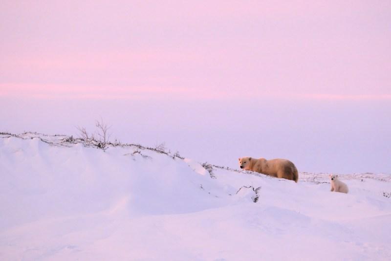 Les ours polaires de Wapusk au Manitoba  et les parcs de l'Alberta