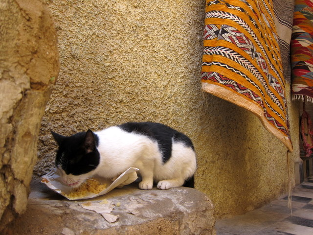 Stray cat in Fes, Morocco