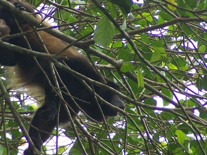Howler Monkey in Nicaragua by Michelle Reback