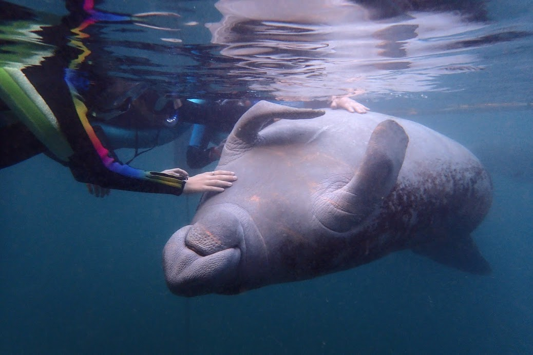 How to Swim With Endangered Wild Manatees