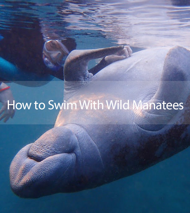 How to Swim With Manatees