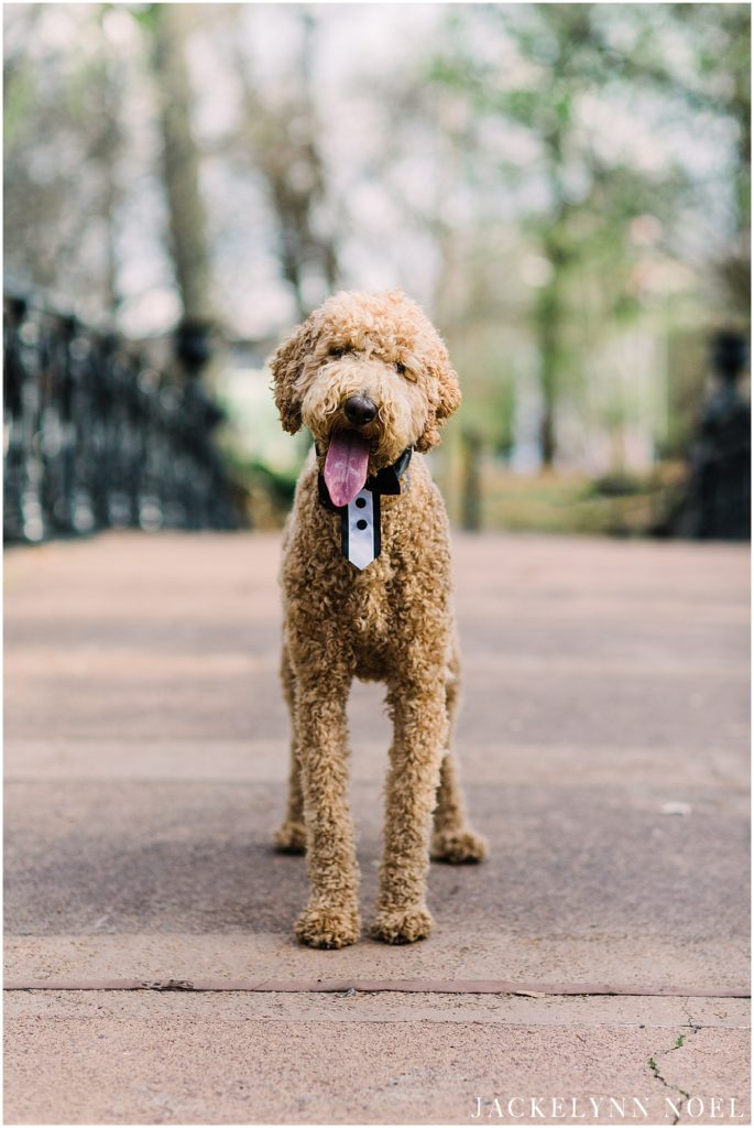Alison and Tony's engagement session at St. Louis Lafayette Park with their Labradoodle, Larry!