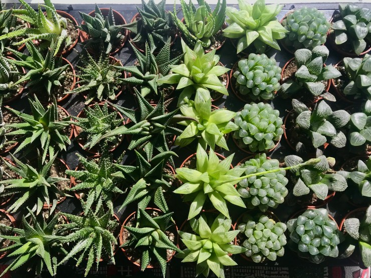 Haworthia varieties