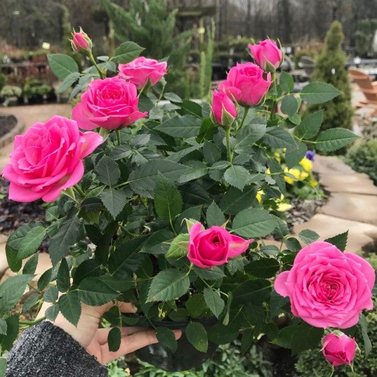 mini indoor pink roses
