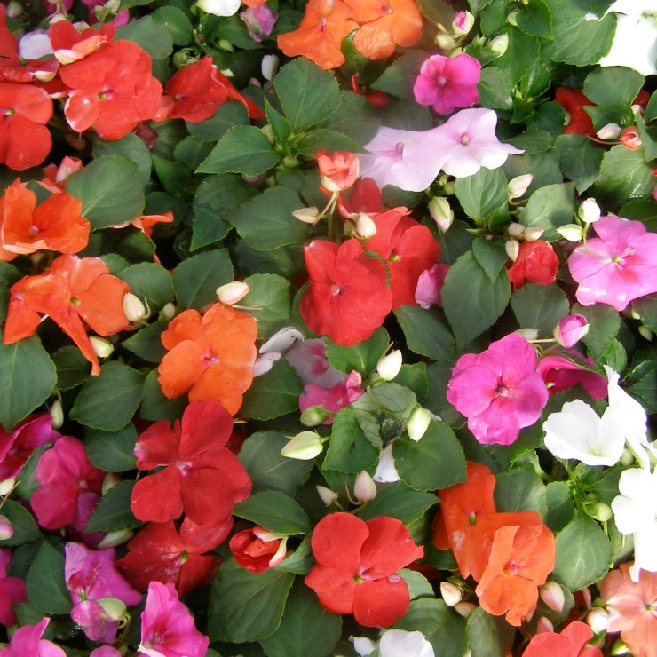 Impatiens for Butterfly Garden