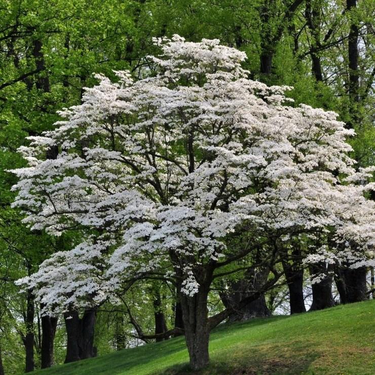 Dogwood for Butterfly Garden