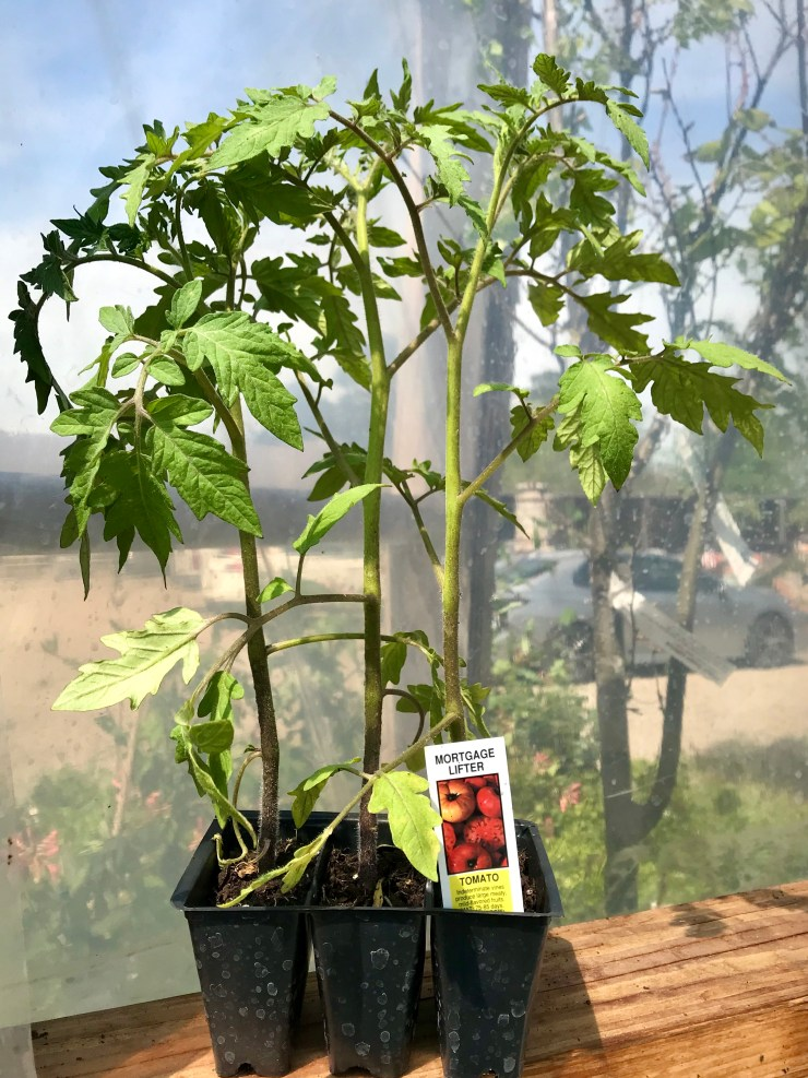 Determinate and Indeterminate Tomatoes