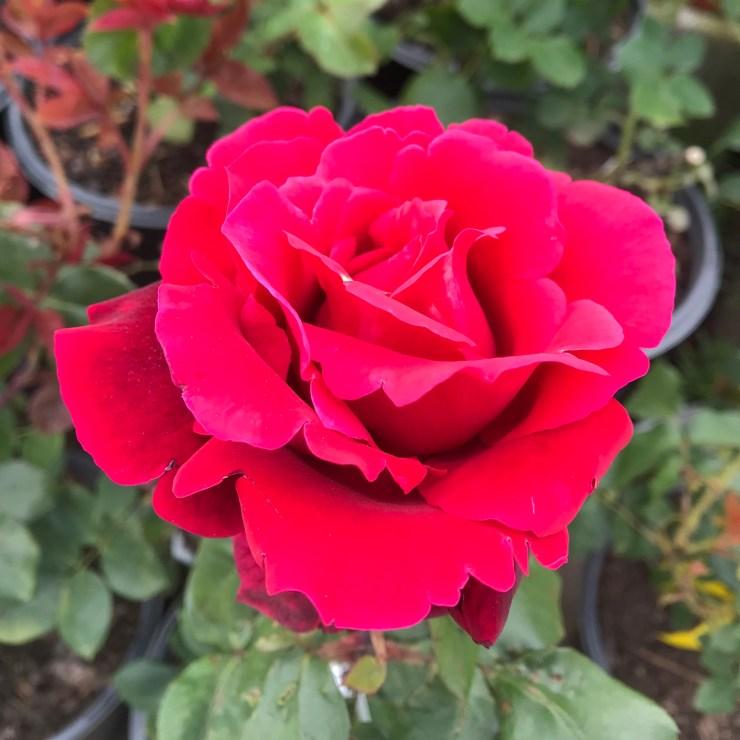 Mister Lincoln Roses