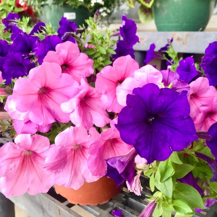 petunia - plants for bright shade