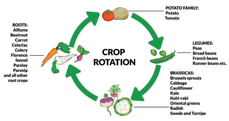 crop rotation to prevent squash vine borer