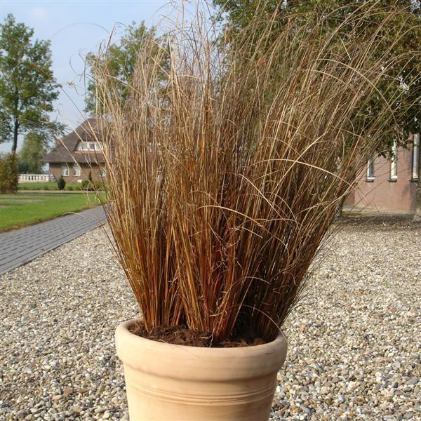 Carex red Rooster -Ornamental Grasses for Fall