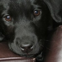 In Memorium: Archie the Black Labrador