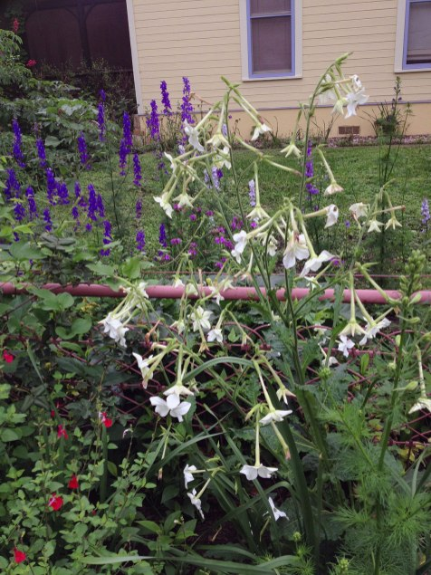 White flower: Flowering tobacco (Nicotiana sylvestris); Purple: delphiniums; red: salvia