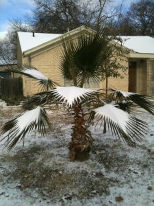 snow on palm tree