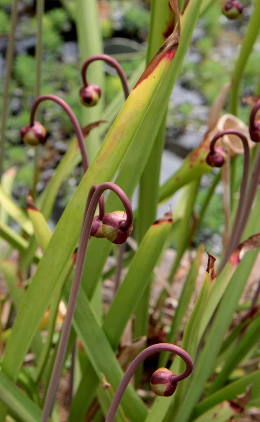 pitcher plant buds