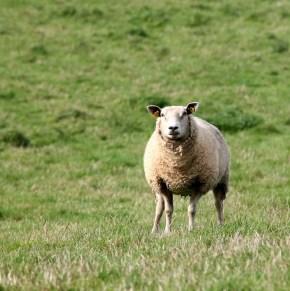 sheep-621167_1280