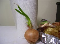 onion grows
