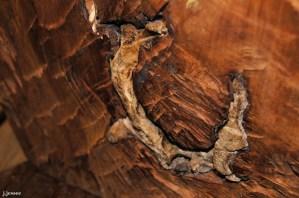 Elk Skull encased in a tree trunk