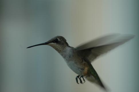 Hummingbird_66