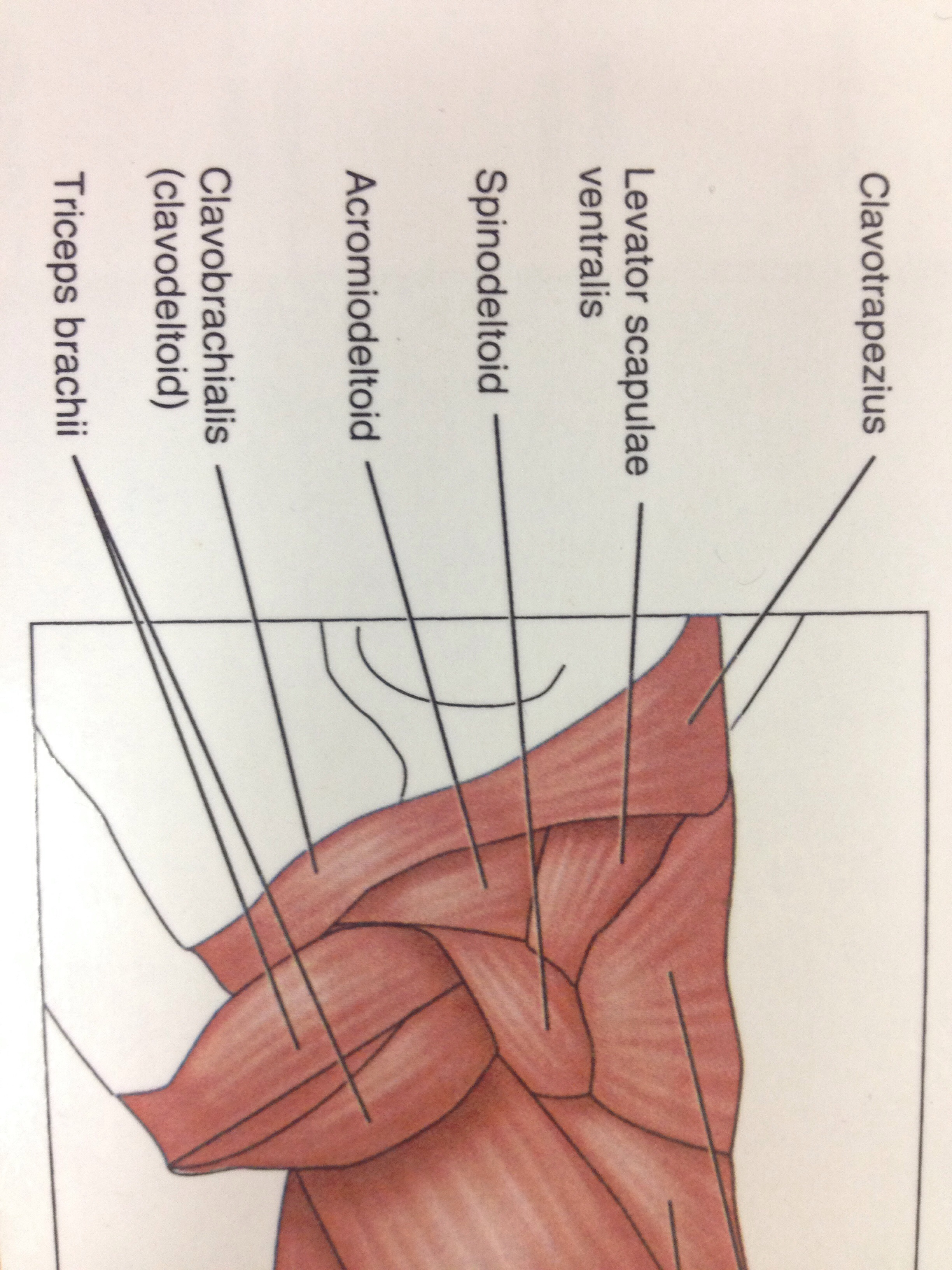 cat muscle anatomy diagram 99 ford explorer radio wiring muscles of the forearm and arm back shoulder