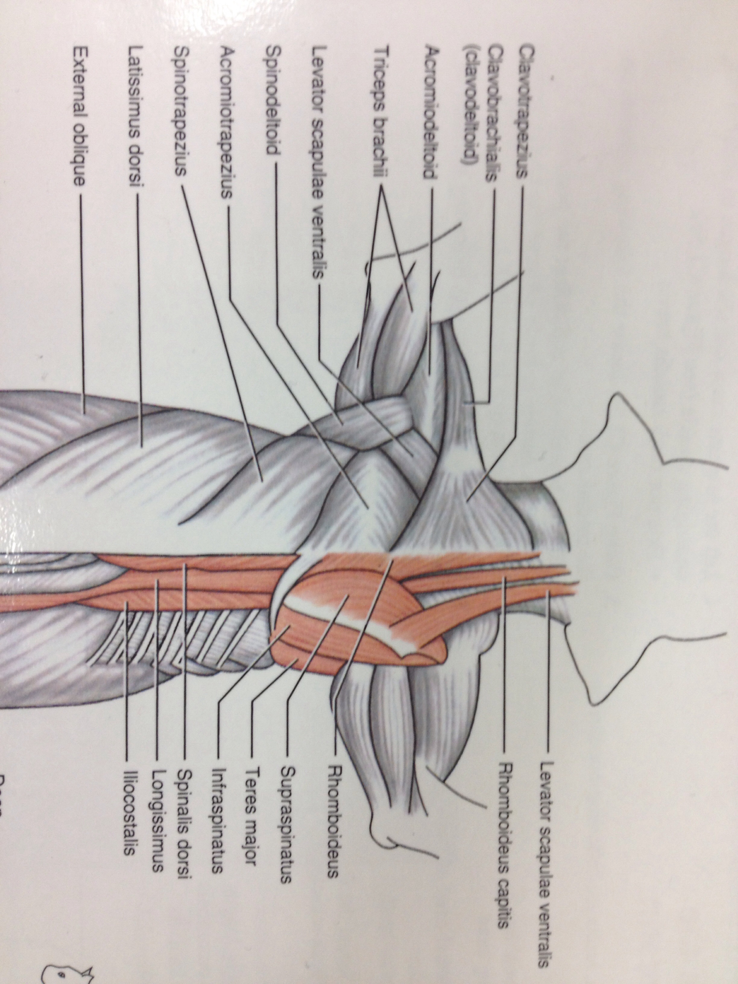 cat dissection muscle diagram back rj45 wiring crossover straight and muscles of the forearm arm shoulder