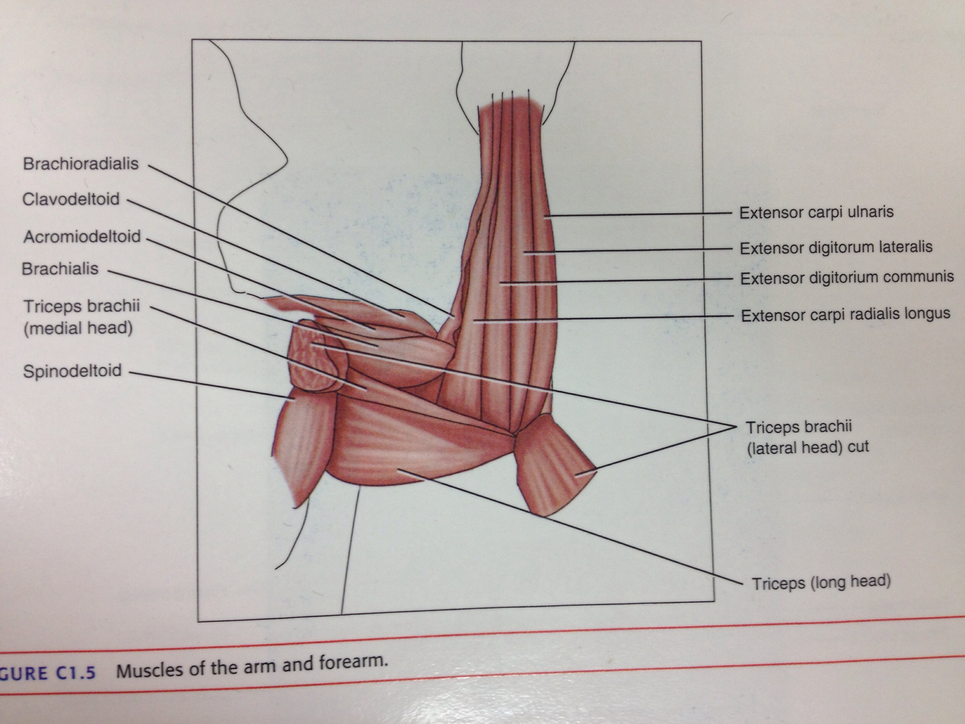 muscles in your arm diagram kazuma 50cc atv wiring of the forearm and back shoulder