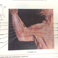 Cat Neck Muscles Diagram Mercedes W210 Wiring Diagrams In Back Leg Deep Hind
