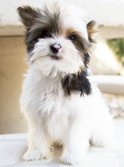 Yorkie Puppies Indiana : yorkie, puppies, indiana, Teacup, Yorkies, Yorkshire, Terrier, Puppies, Yorkie, Parti