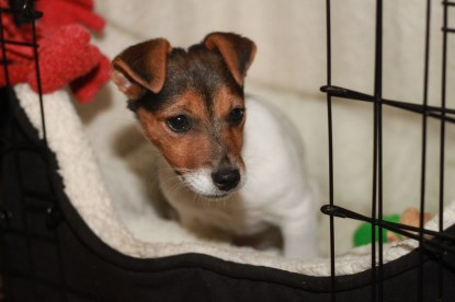 Jack Russell Charlie kennel