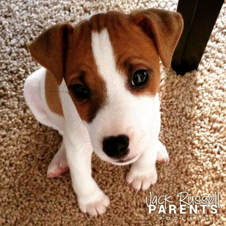 carson jack russell