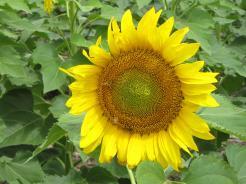 The sun flower..