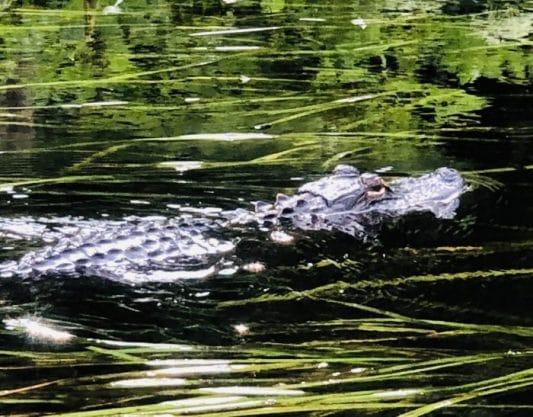 Alligator Bellows: Side-Trip Down A Rabbit Hole