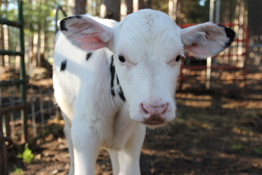 cute calve baby at Jackson Station Livestock farm in Maple City