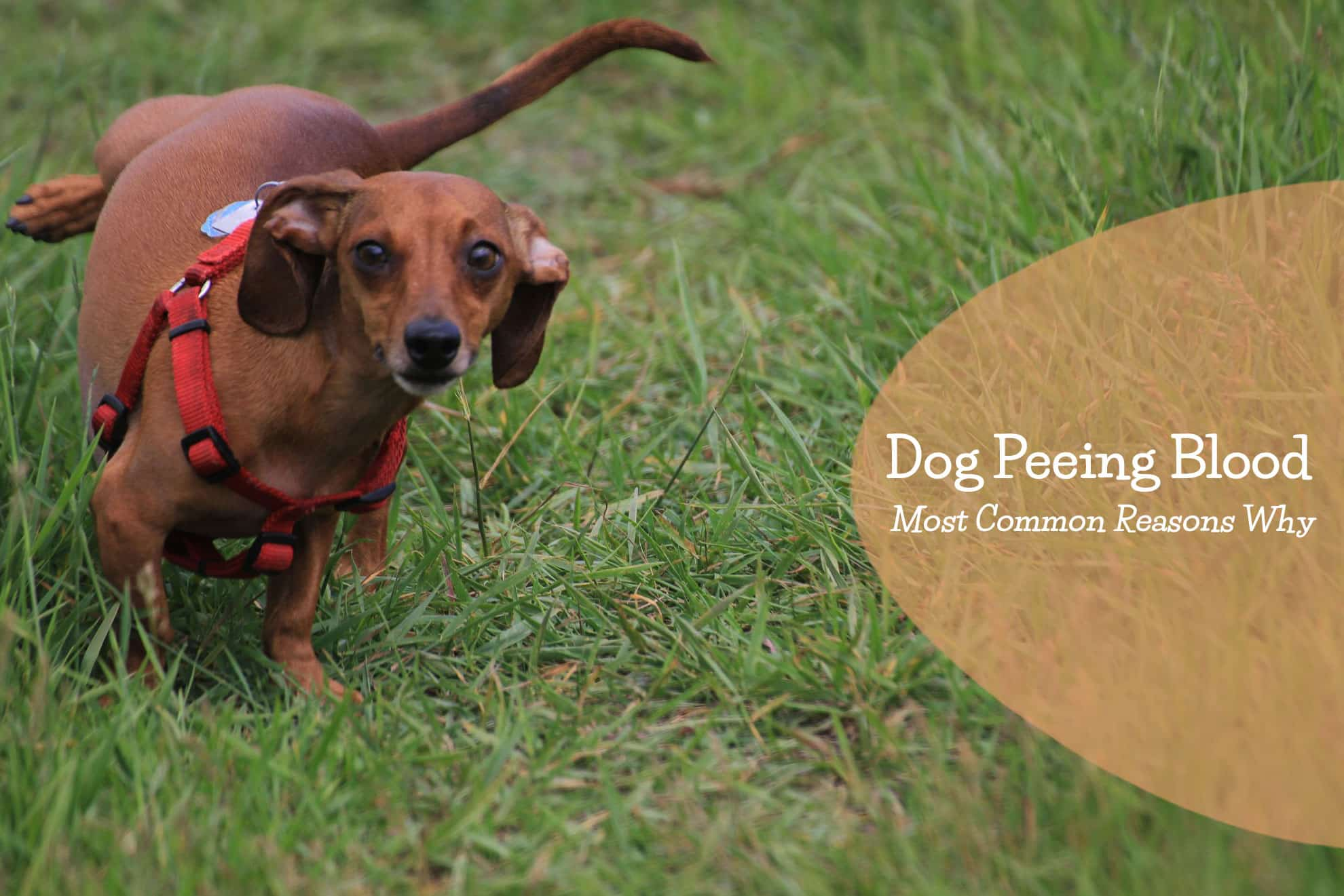 Dog Peeing Blood – Most Common Reasons Why | Jacks Pets