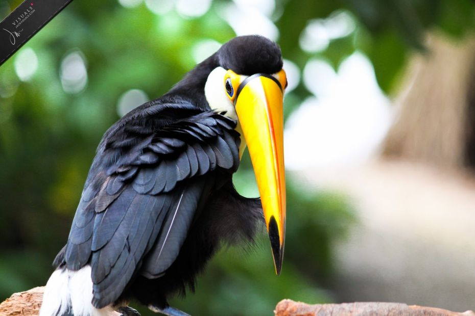 Toco Toucan, rainforest animal photography