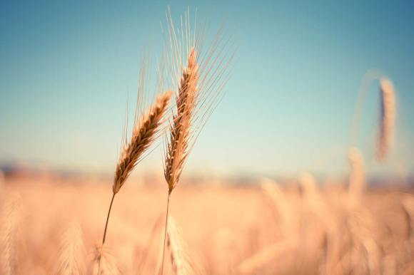 Image of two stalks of wheat blowing near to each other in the wind.