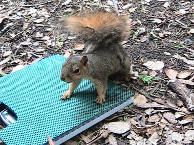 Squirrel weighing itself