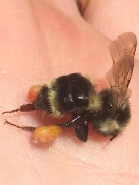 Bombus bifarius with pollen loads