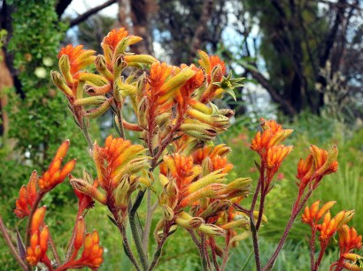 This is the original colour of the Kangaroo Paws's