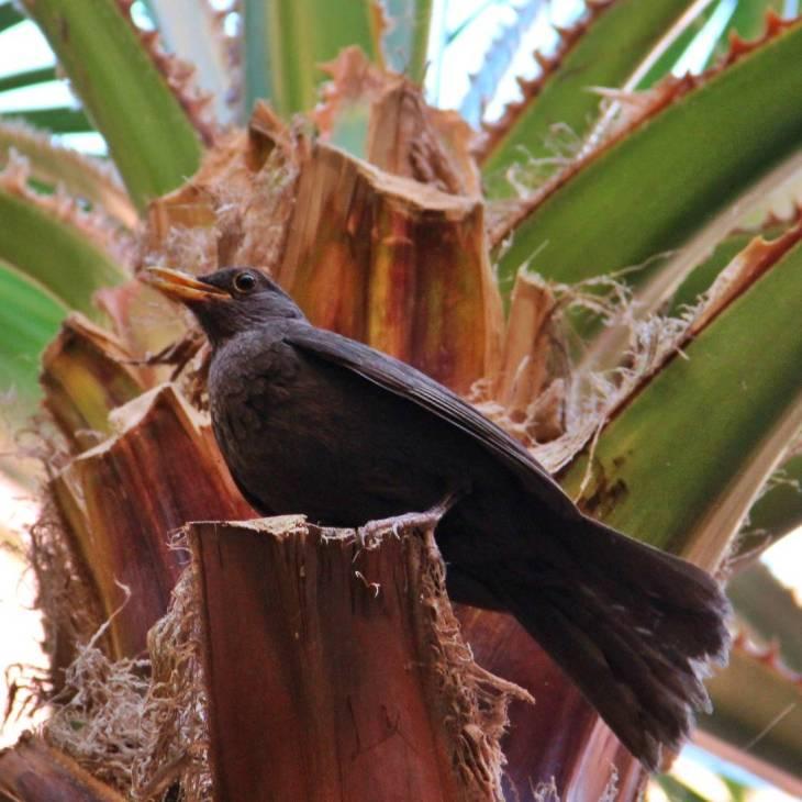 l'oiseau réveil chanteur sur une branche du palmier, le bec entrouvert