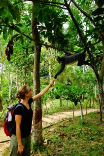caro essai d'approcher un thomas leaf monkey