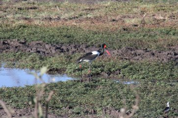 Saddle billed stork fishing for frogs. Is he french?