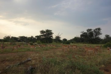 End of the day, Impala gathering
