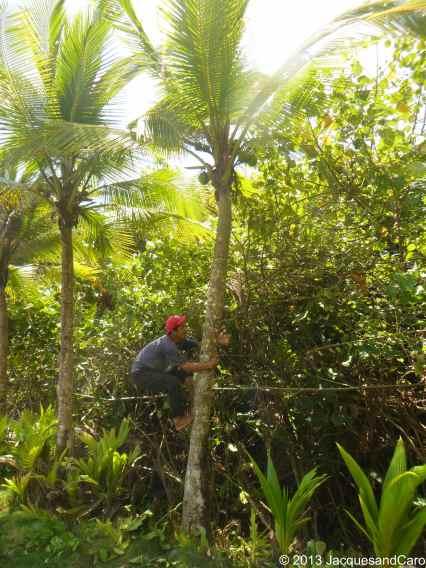 How to climb a coconut tree