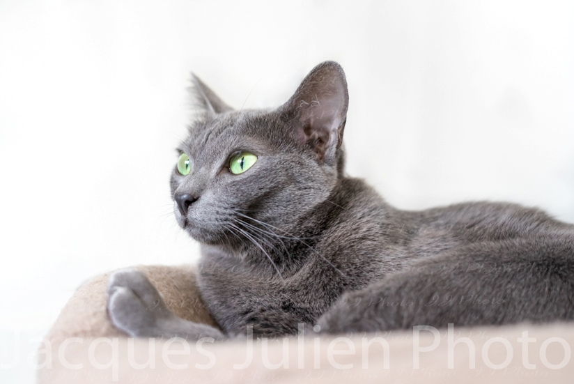 chat de race gris korat