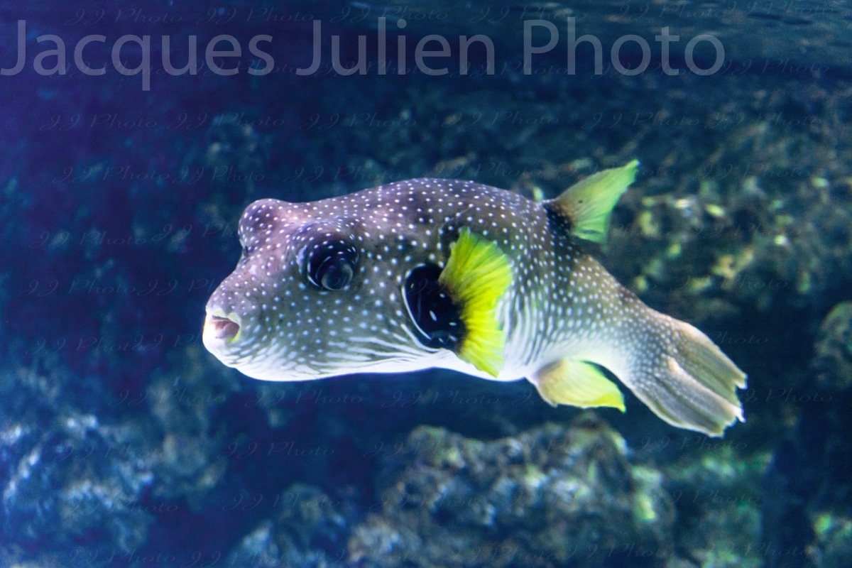 puffer fish underwater photography