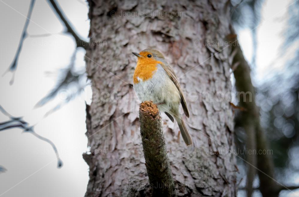 rouge-gorge oiseau